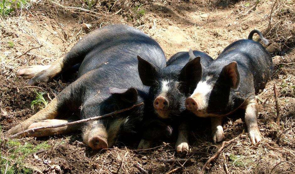 berkshire pigs raised on pasture
