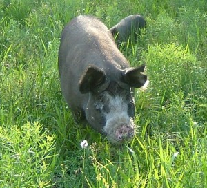 Patsy, one of our Registered Berkshire sows.