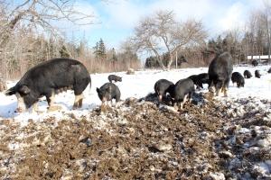 berkshire pigs in winter