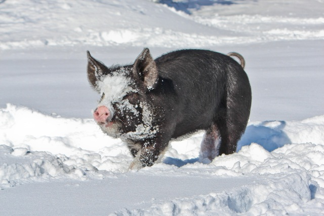 berkshire pig in snow