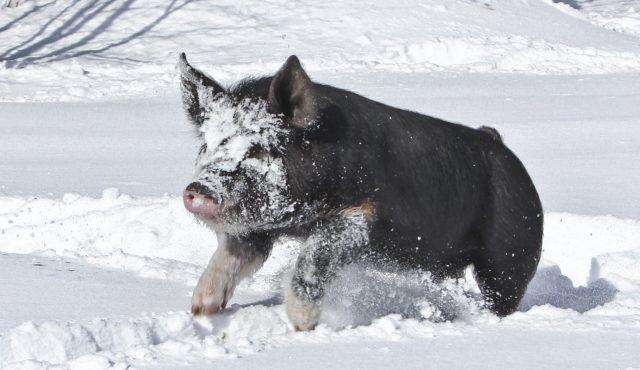 berkshire pig in snow