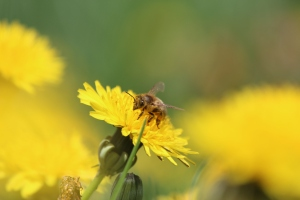 honey bee on dandelion
