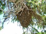 Bee swarm in spruce tree