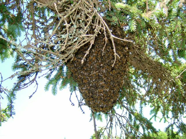 Bee swarm in spruce tree