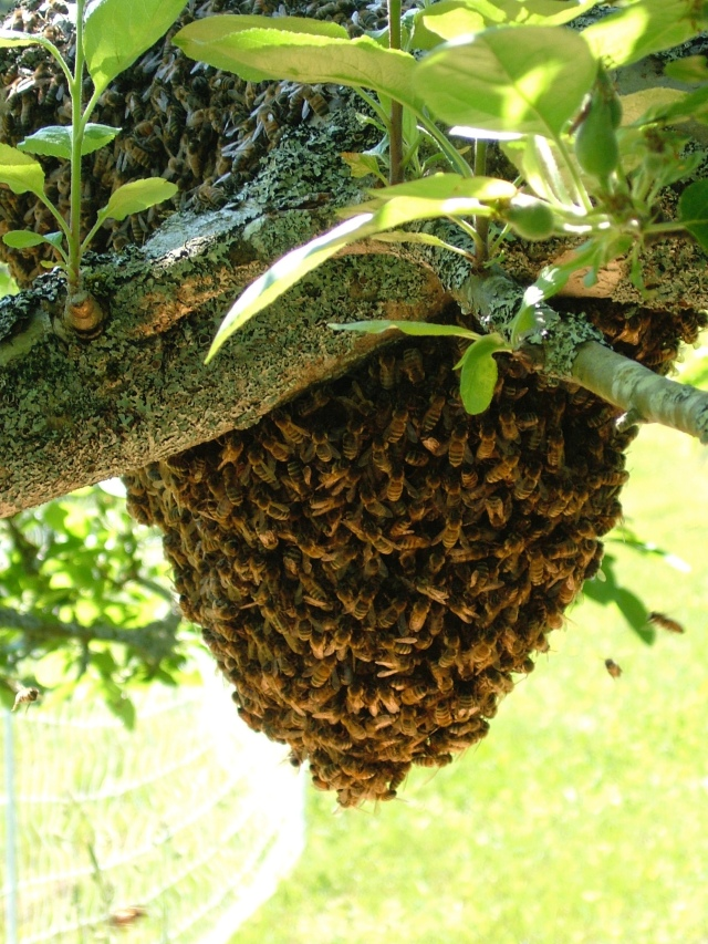 Bee swarm in an apple tree.