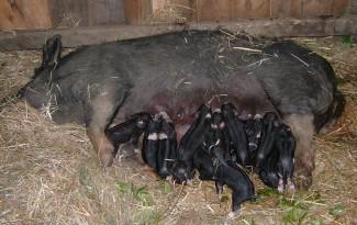Berkshire sow suckling piglets