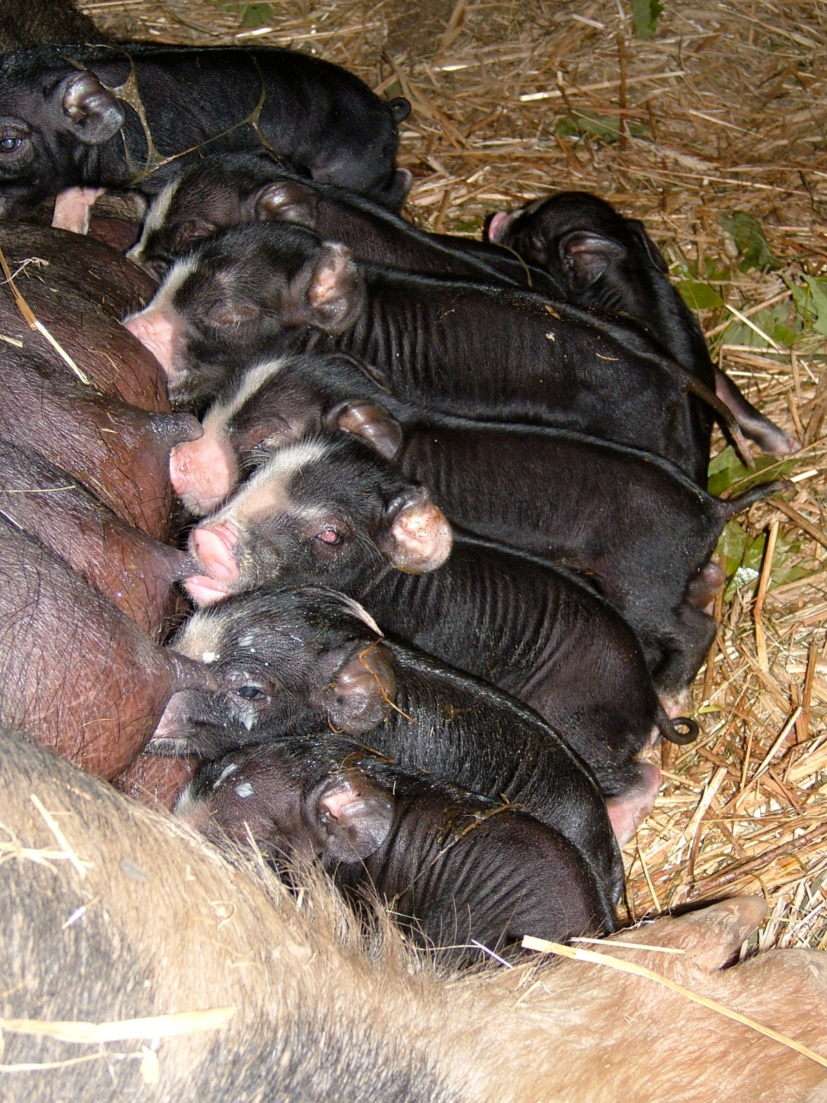 Berkshire piglets suckling from sow