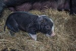 day old berkshire piglet