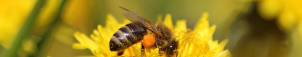 5 things anyone can do to help save the bees.