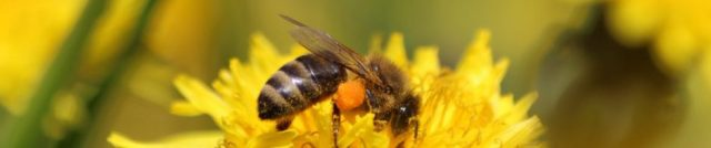 Honey bee on dandelion with pollen sac