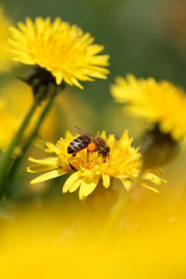 Honey bee with pollen on dandelion.