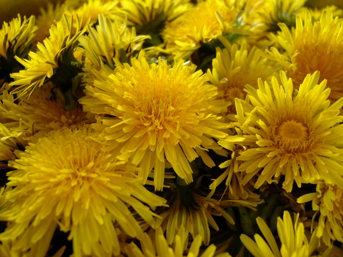 How to make dandelion marmalade.