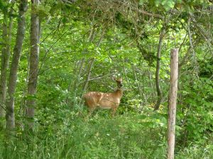 Deer are welcome in the woods but this one is starting to come a bit too close to my vegetable garden!