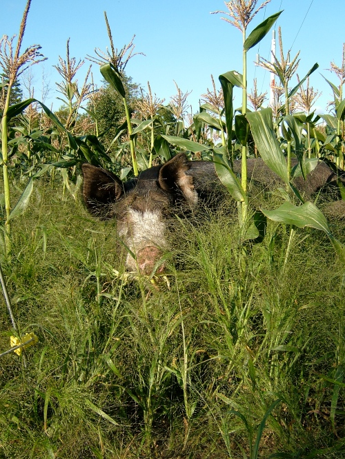 Berkshire pig in sweetcorn field