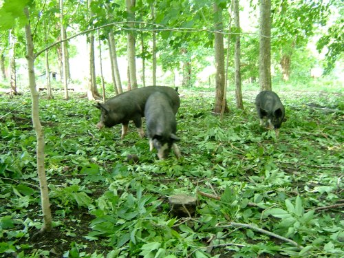 Pigs grazing in woods