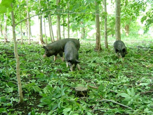Pigs grazing in woods