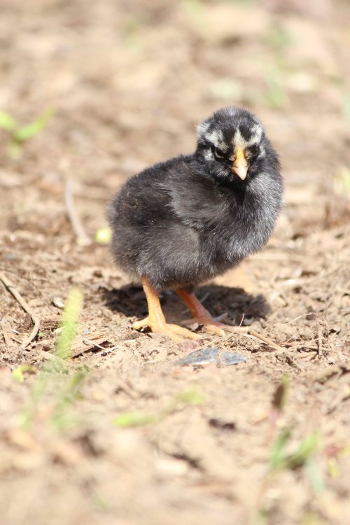 Silver Laced wyandotte chick