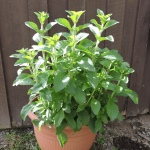 Stevia plant grown in container