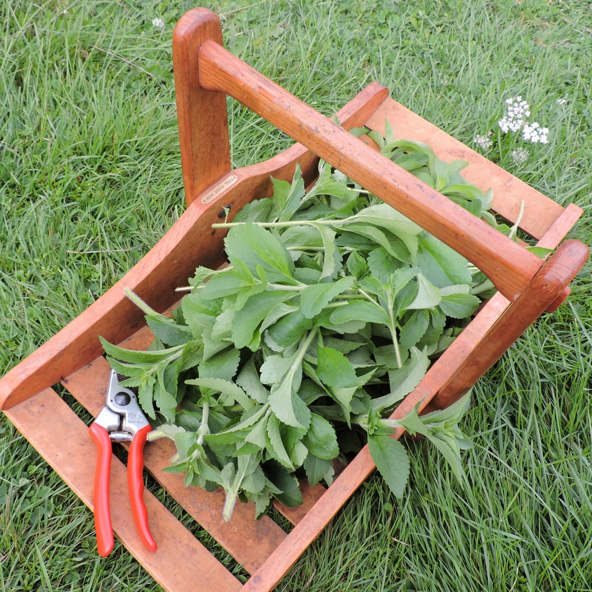 It's easy to grow Stevia in your own garden.