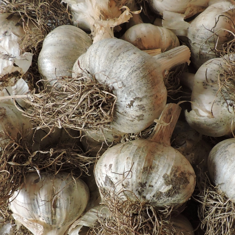 Hardneck Garlic bulbs for planting