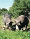 Berkshire sows and pigs raised on pasture