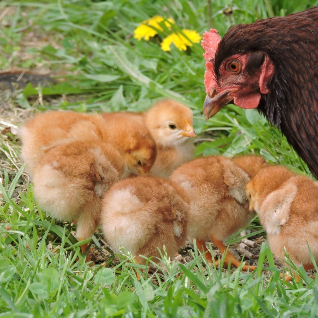 Rhode Island Red hen with chicks