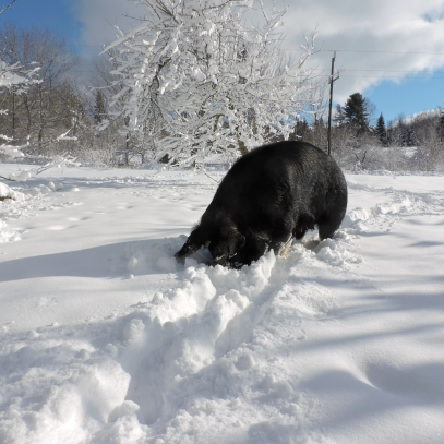 Berkshire sow in snow