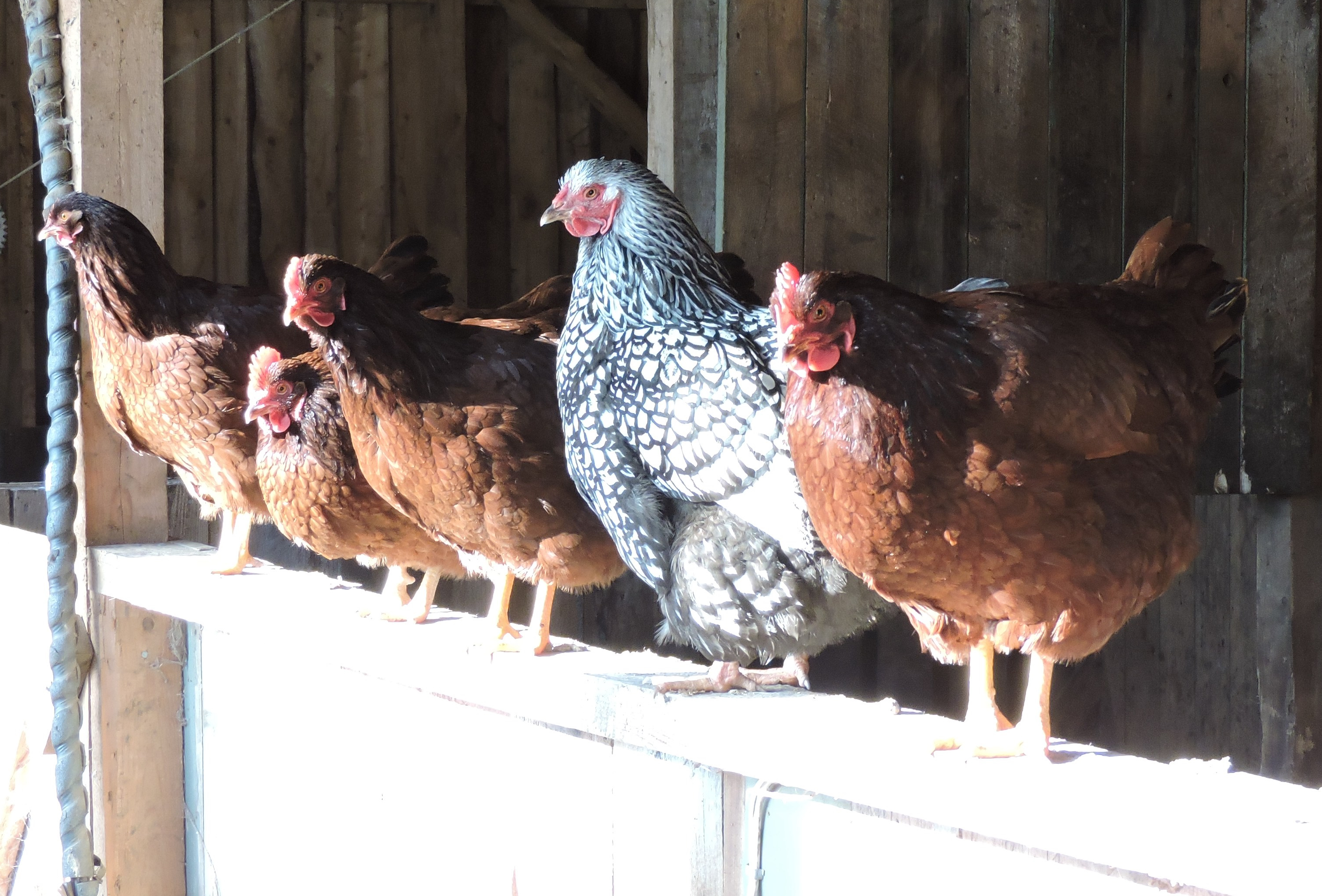 Silver Laced Wyandotte and Rhode Island Red hens