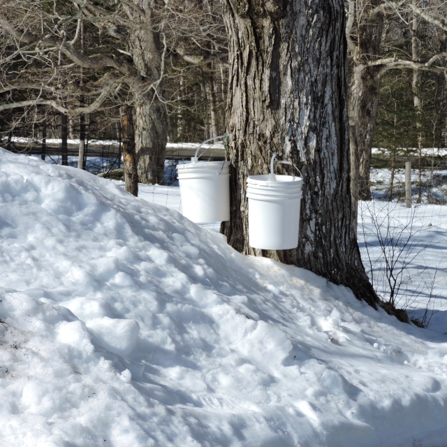 Collecting maple sap