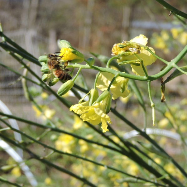 Honey bee feeding on broccoli flower