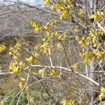 plant peas when forsythia flowers