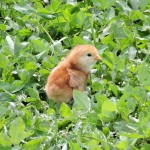 Rhode Island Red chick, day old