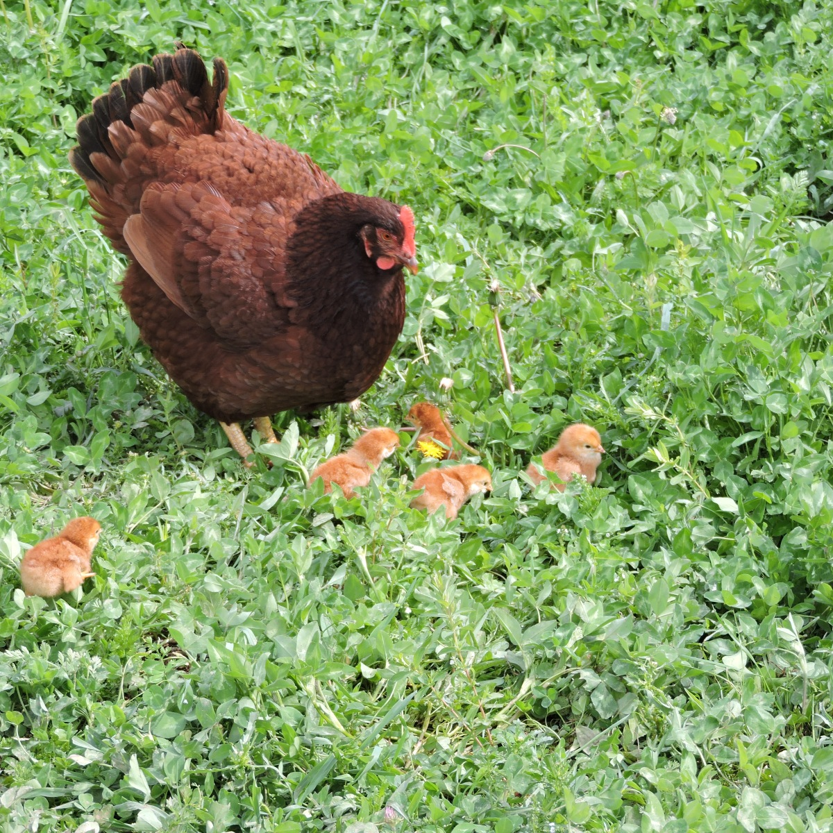 Rhode Island Red hen with day old chicks