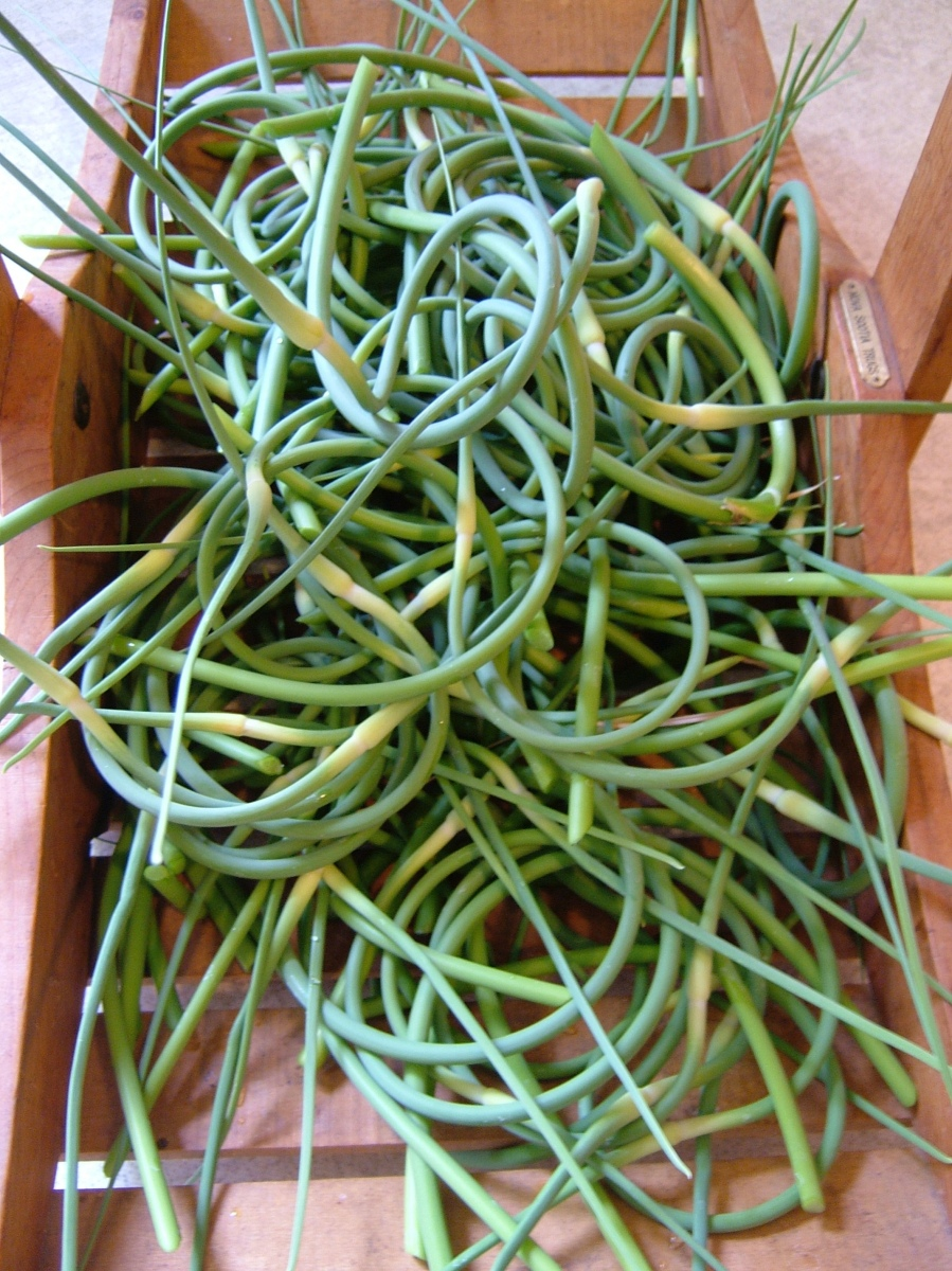 5 easy recipes using garlic scapes.