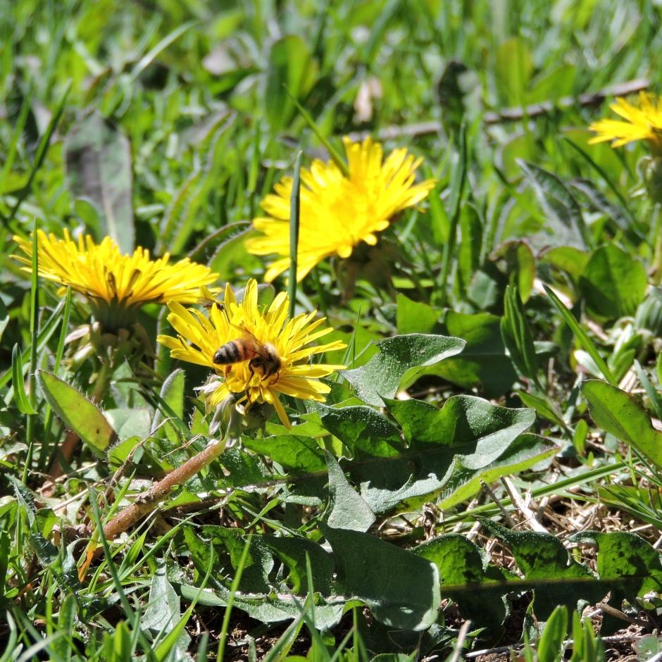 Honeybee, pollinator on dandelion