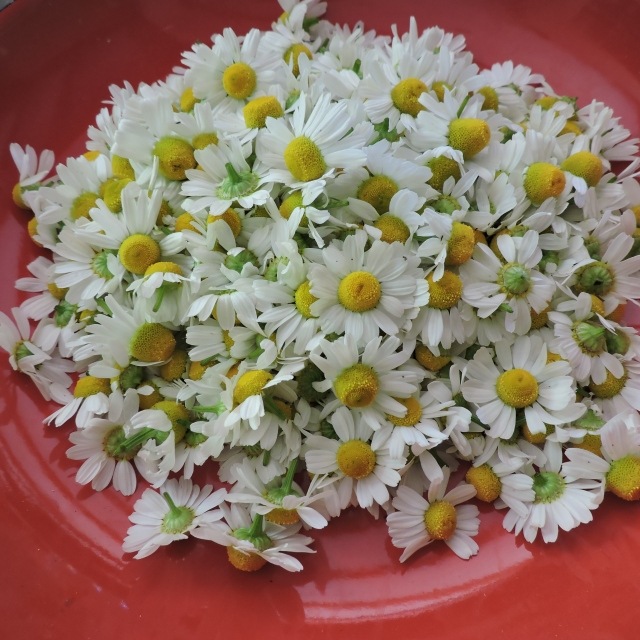 Chamomile flowers harvested for drying