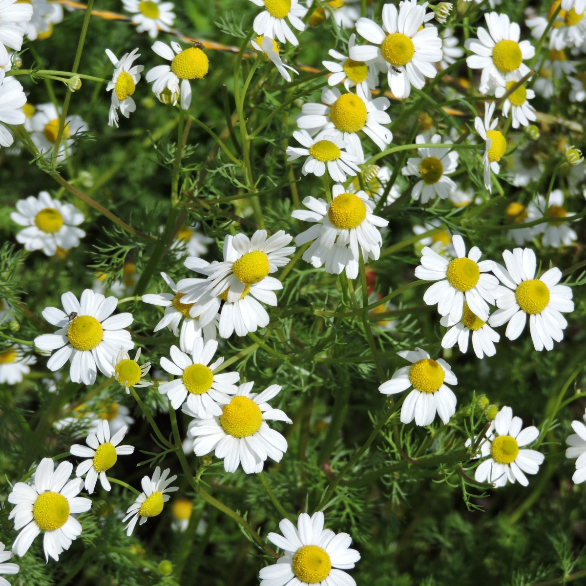 Sweet dreams are made from chamomile.