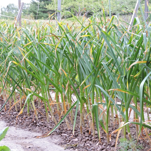 Garlic ready for harvest