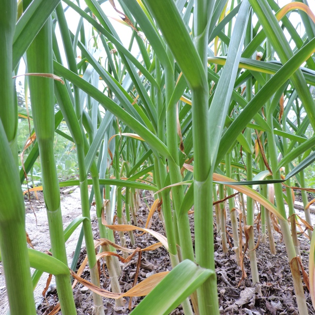 Harvest garlic when the bottom 2-3 leaves have died back.