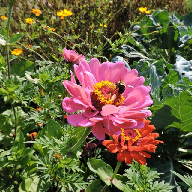 bee on zinnia flower