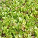 Mesclun salad mix