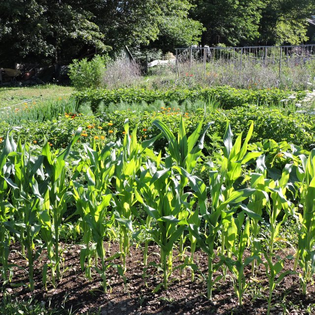 Sweet corn growing