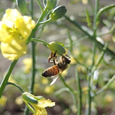 honey bee on broccoli
